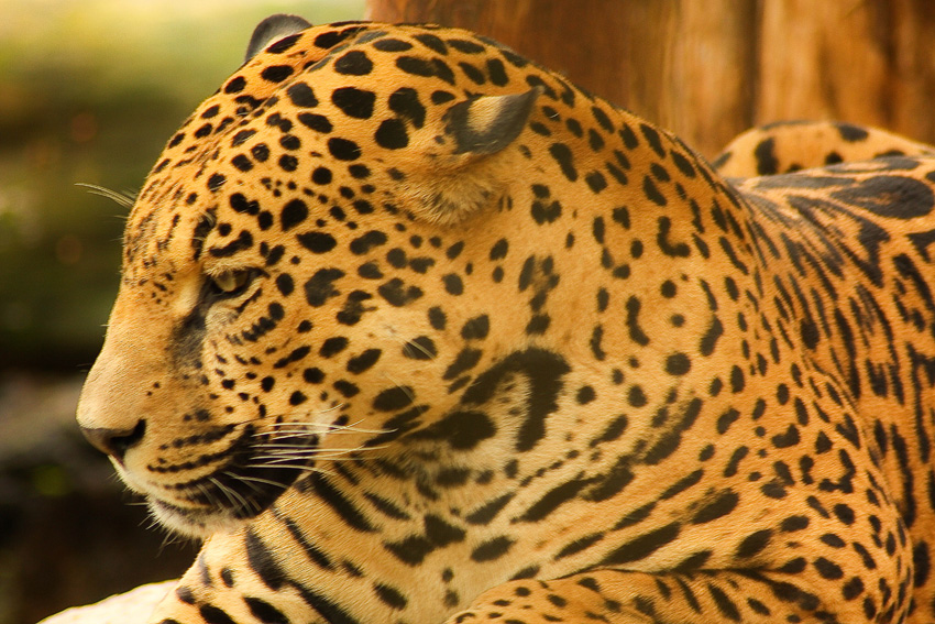 fotos jaguar en costa rica. Black Bedroom Furniture Sets. Home Design Ideas